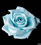 Blue Rose Tattoo Concept