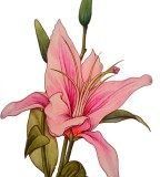 Stargazer Lily Tattoo Design Sketch