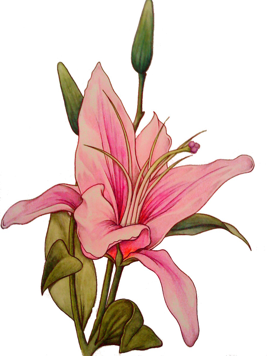 Flower meanings lily - Stargazer Lily Tattoo Design Sketch
