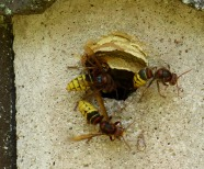 Hornet Sting – What to Do When You Get It?
