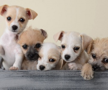 23 Smallest Dog Breeds in the World You can Pet in Your Apartment