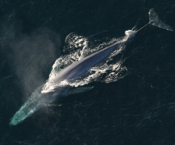 Blue Whale Facts – Things to Know About the Largest Animal in the World