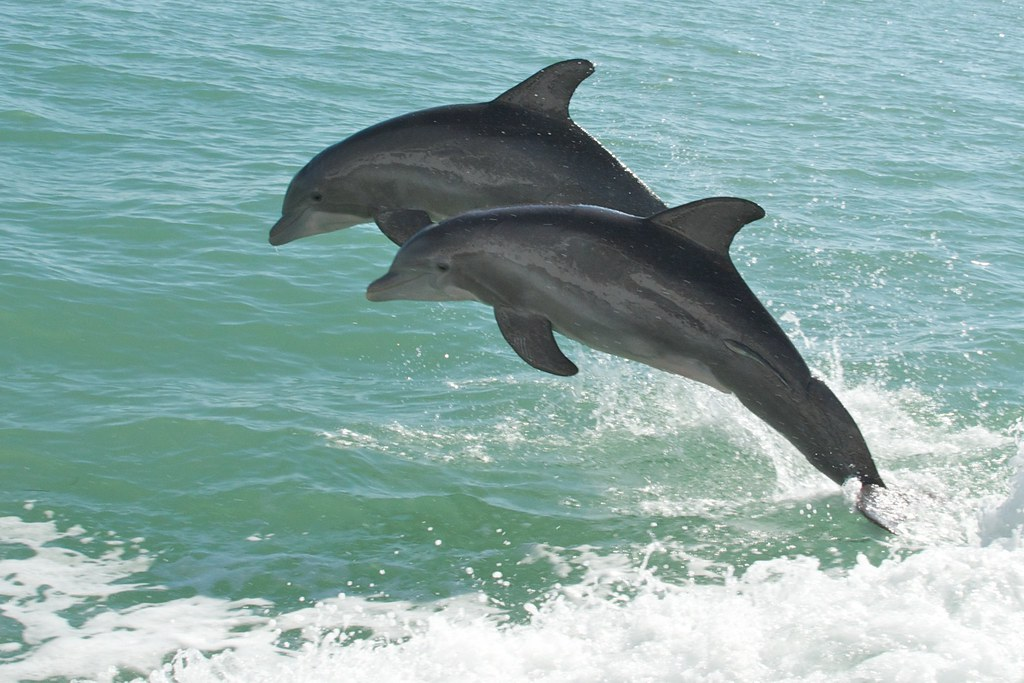 two dolphins together