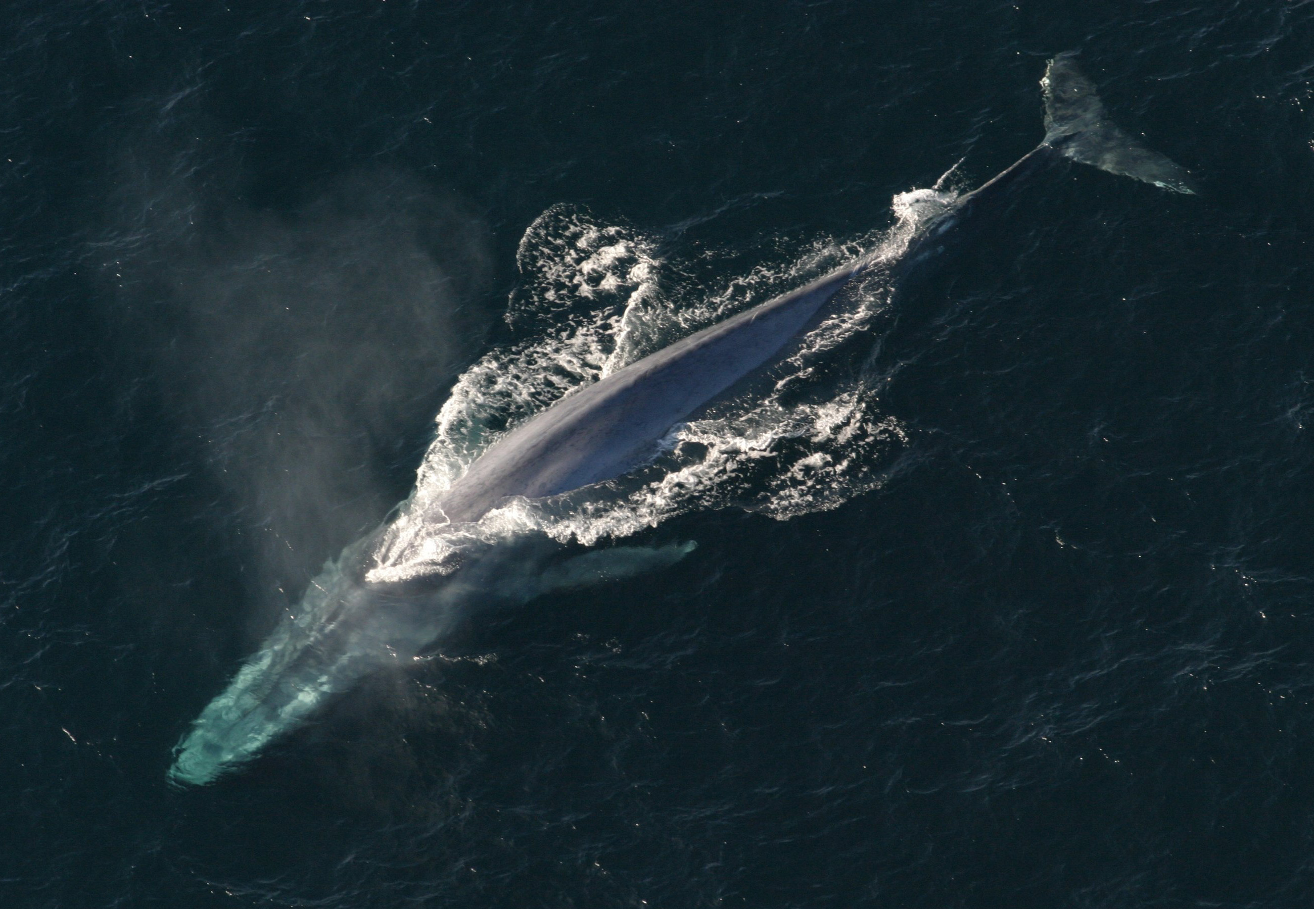 Blue Whale Facts