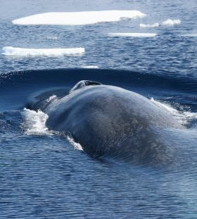 Antarctic Blue Whale