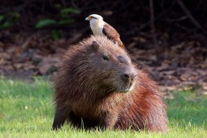 Capybara - Amazon rainforest animals