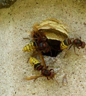 hornet sting