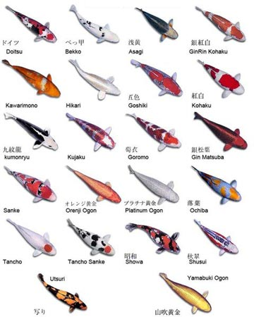 Types of Koi Fish Tattoos Picture