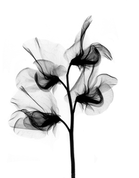 Black and White Sweet Pea Flower Design for Tattoo